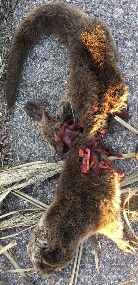 lontra morta 14.1.21